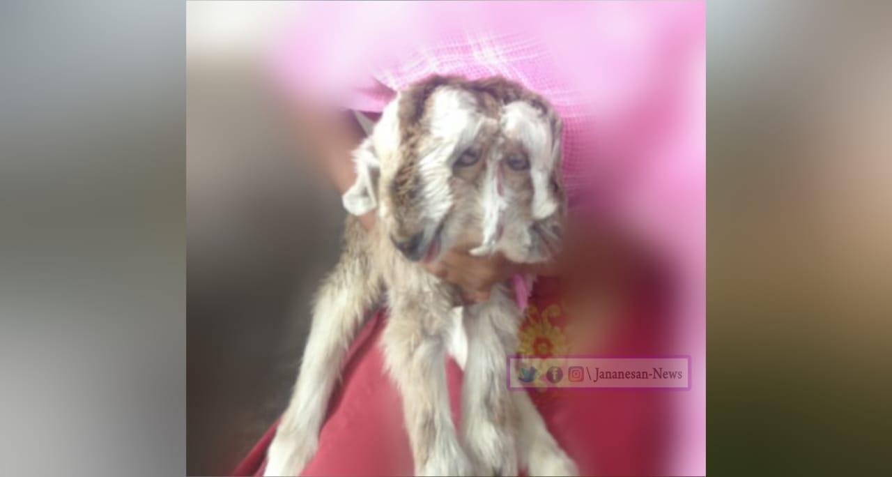 அலங்காநல்லூர் அருகே இரண்டு தலைகளுடன் அதிசிய ஆட்டுக்குட்டி.!